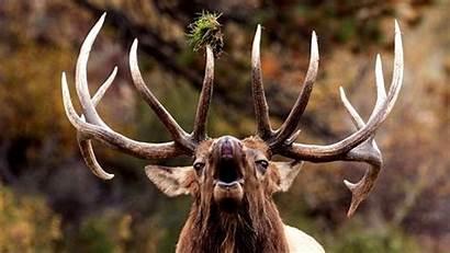Elk Bugling Rocky Mountain Bull Close Park