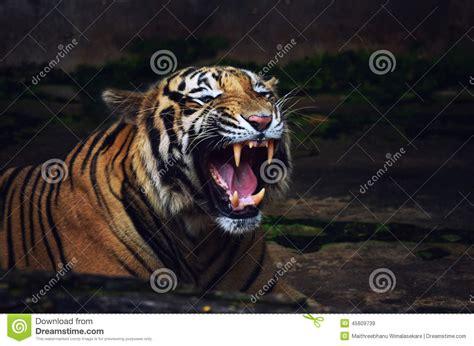 tiger roar warning attack stock photo image