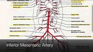 Arteries In The Lower Body Tutorial