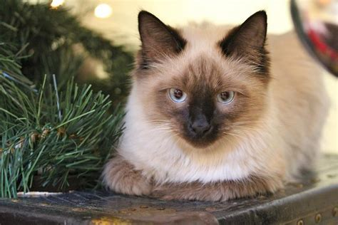 cat breeds cats himalayan maintenance care lifestyle children mix health grooming