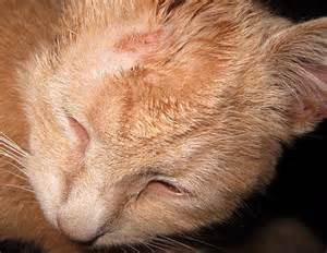 cat ringworm ringworm in cats