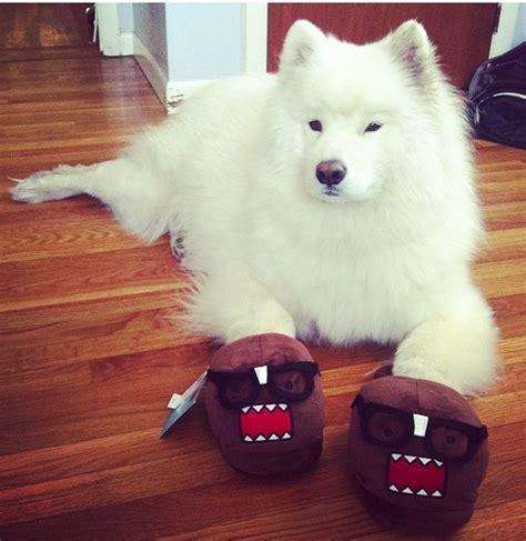17 Best Images About Samoyed Smile On Pinterest