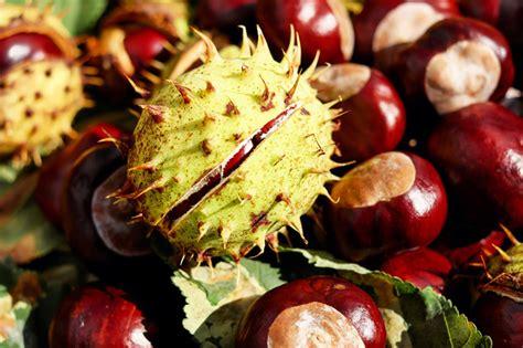 clipart castagne marronnier aesculus hippocastanum plantation culture