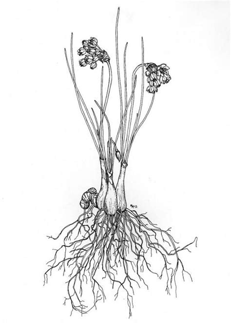 flower roots tattoo - Allium...a plant family known for