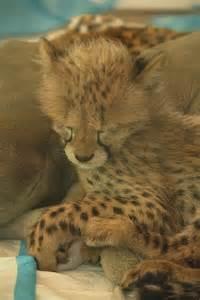 Cute Cheetah Cubs Sleeping