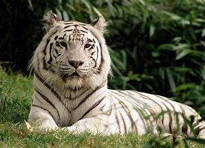 Save White Royal Bengal Tigers ~ MyClipta