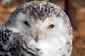 Florida Snowy Owl