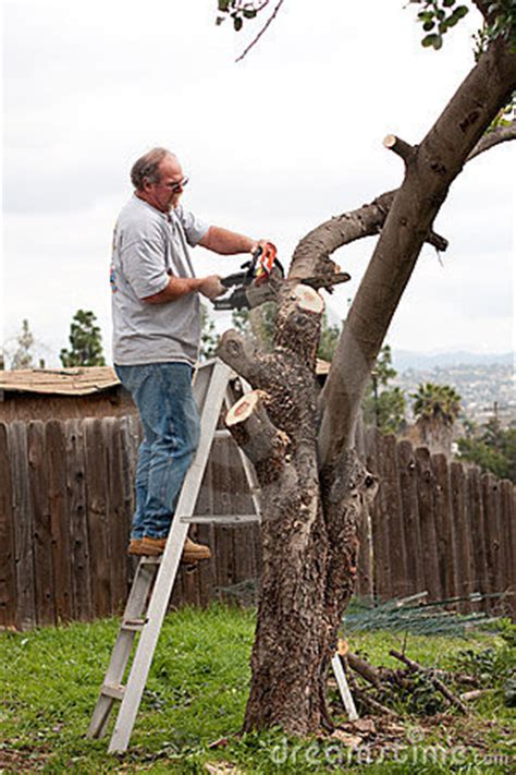 man  ladder sawing tree branches stock images image