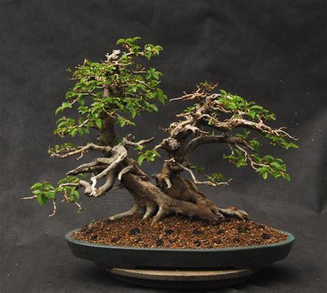 Bonsai Baum Pflanzen by Bonsai Bonsai Bonsai Bonsai Baum Und Garten Pflanzen