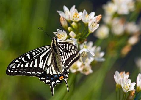 Swallowtail Butterflies On Flowers