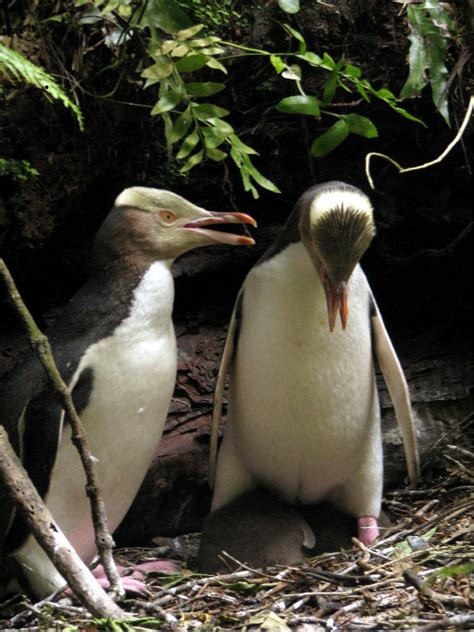 Female Yellow Eyed Penguin