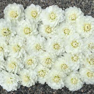 flirty fleurs dahlia tubers  sale flirty fleurs