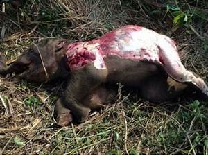Another wild baby elephant dies in Vietnam forest ...