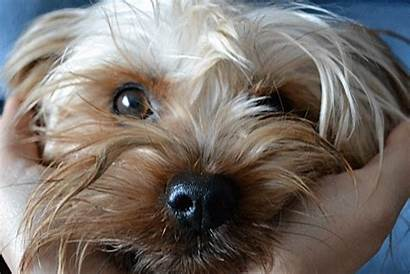 Yorkshire Terrier Gifs Cuteness Its March Super