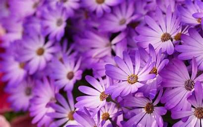 Daisy Flower Wallpapers Marvellous Vector