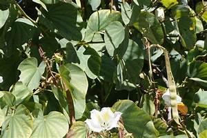 Baum Mit Langen Schoten : baum mit gro en bl ten mauritius bauhinia variegata ~ Lizthompson.info Haus und Dekorationen