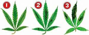 Stickstoffmangel Bei Pflanzen : phosphor beim marijuana grow 1000seeds ~ Lizthompson.info Haus und Dekorationen