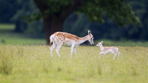 fallow deer bing wallpaper