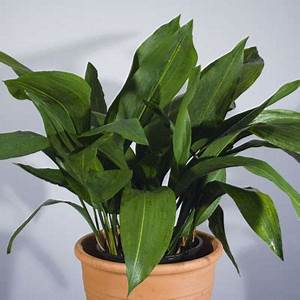 Cast Iron Plant (Aspidistra elatior) - Ascot Vale Garden