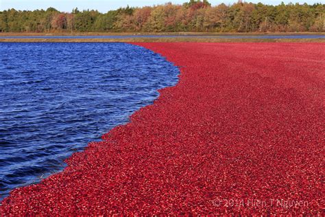 """A Nation Without Cranberry Sauce!"""" The Red Relish Panic Of"""