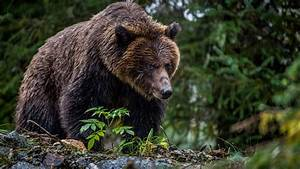 The Evolution Of Eating In Bear Country