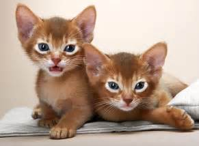 abyssinian cats the abyssinian cat cat breeds catloversdiary