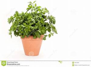 Parsley Plant - Italian Flat Leaf Stock Photography ...