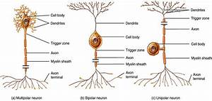 Structure Of A Sensory And Motor Neuron