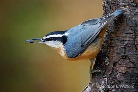 gordon wolford photography ontario eastern ontario birds