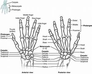 8 2 Bones Of The Upper Limb  U2013 Anatomy And Physiology
