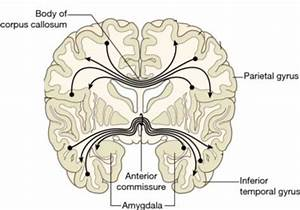 5  The Corpus Callosum And Anterior Commissure   Adapted