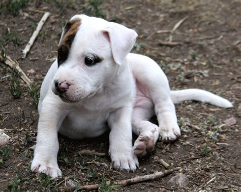 Baby Puppy Pit Bull Bach Flickr P O Sharing