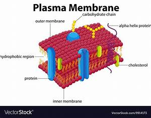 Diagram With Plasma Membrane Royalty Free Vector Image