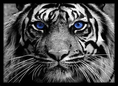 Tiger Giphy 4k Waterfall Bengal Gifs Muzik
