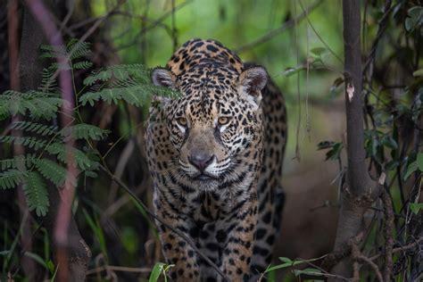 Brazil   Jaguar On the Hunt