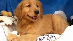 2017 Mini Dark Golden Retriever Puppies Kennel - Dog ...