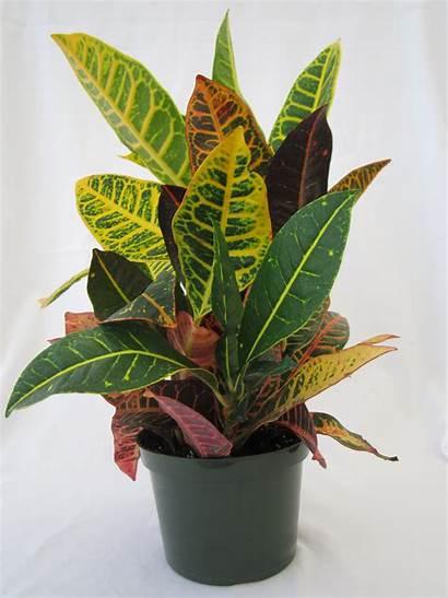 Croton Petra Plants Pot Inch