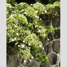 17 Best Images About Vines On Pinterest  Jasmine, Garden