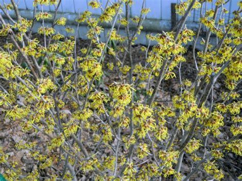 Zaubernuss Im Sommer by Gartengestaltung Im Winter 6 Blumen F 252 R Gro 223 Artige Farben