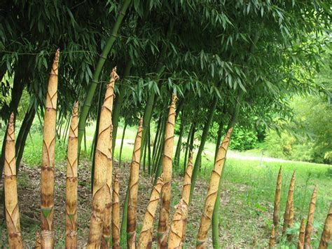 A Bamboo Shoot Is 20 Inches Phyllostachys Dulcis