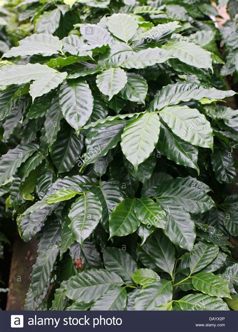 Get an email notification for any results in plants, trees and seeds in south africa when they become available. Robusta Coffee Leaves, Coffea canephora, syn. Coffea robusta Stock Photo - Alamy