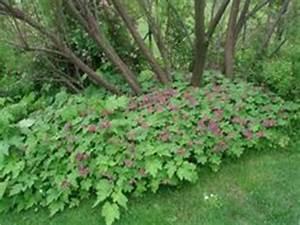 Bodendecker Gelb Blühend : geranium sanguineum 39 apfelbl te 39 garten blut storchschnabel bild 2 work pinterest shops ~ Frokenaadalensverden.com Haus und Dekorationen