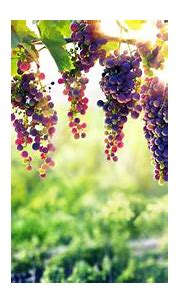 Bunches of Grapes Hanging on a Grapevine 5k Retina Ultra ...
