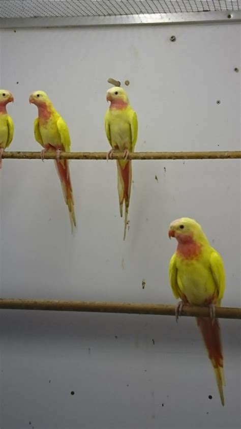 love birds 01 prestige birds limited