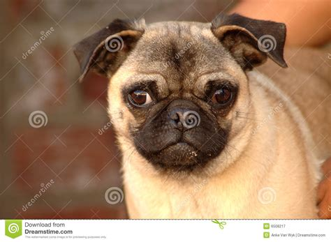 Funny Pug Dog Face Royalty Free Stock Photography - Image ...