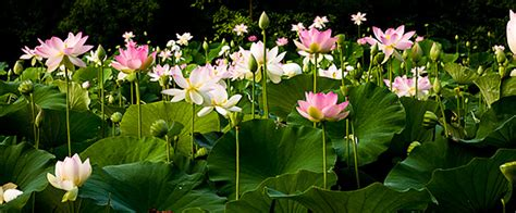 lotus blossoms at kenilworth aquatic gardens in washington