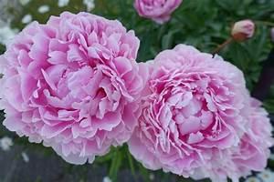 Langage Des Fleurs Pivoine : p fleur par p ~ Melissatoandfro.com Idées de Décoration