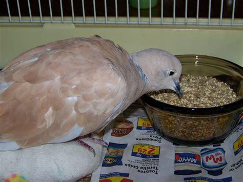 dove eating by nukeleer on deviantart