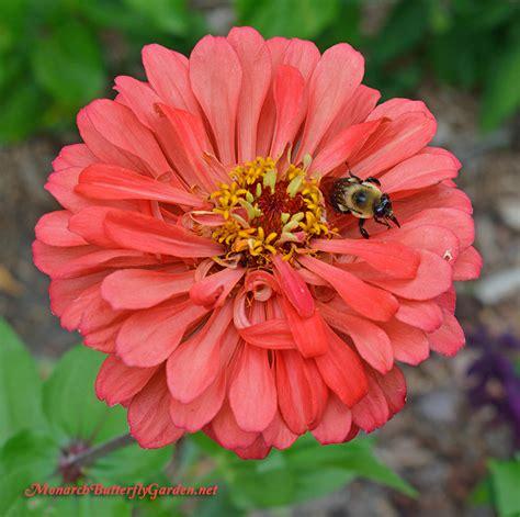 big zinnia flowers  busy butterfly garden growing tips