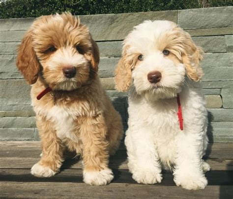 Non Shedding Hypoallergenic Small Dogs by Best 25 Hypoallergenic Breed Ideas On